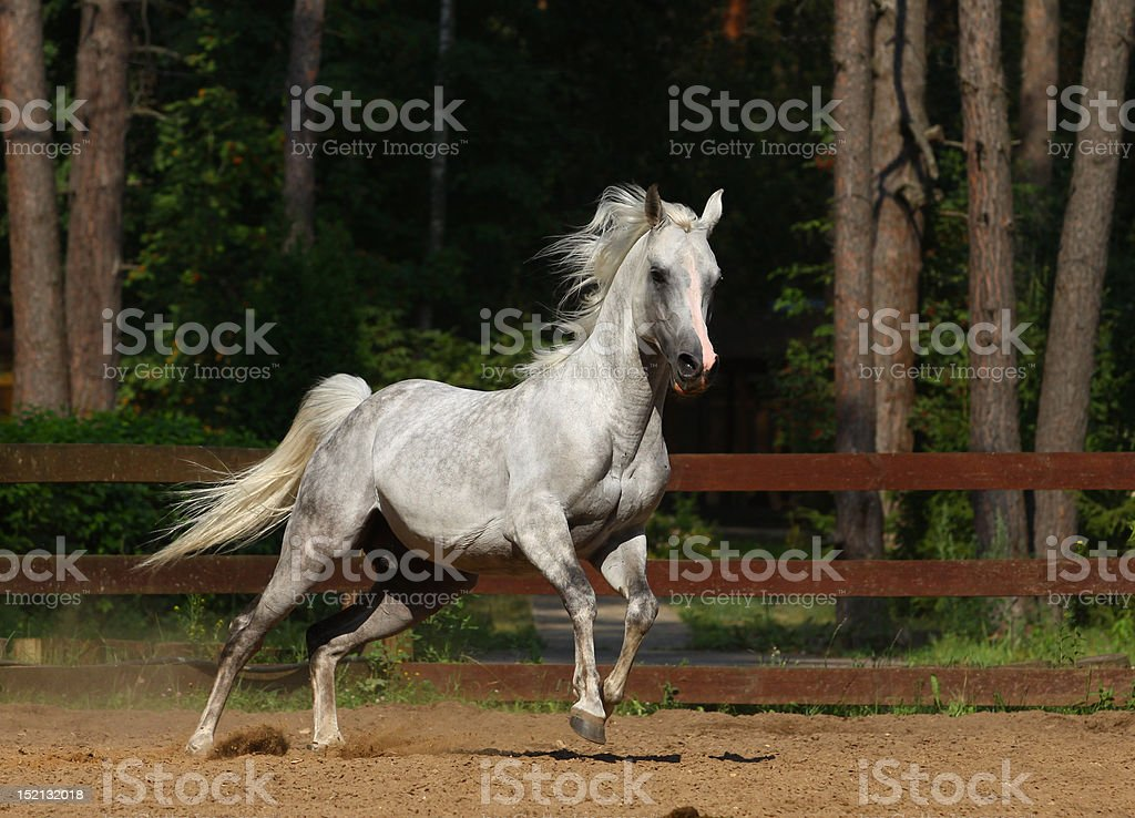 arabian stallion royalty-free stock photo