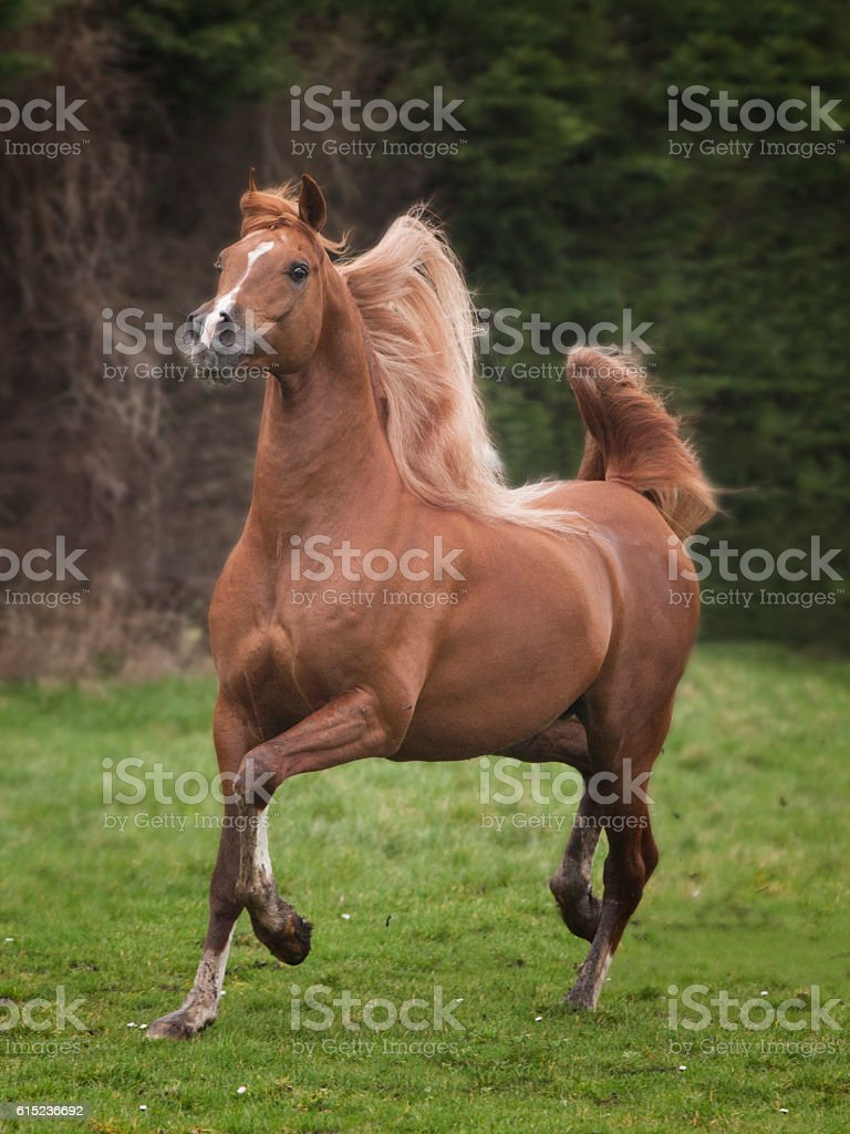 arabian stallion stock photo