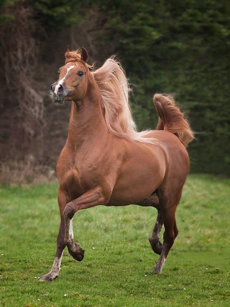 arabian stallion arabian stallion in motion arabian horse stock pictures, royalty-free photos & images