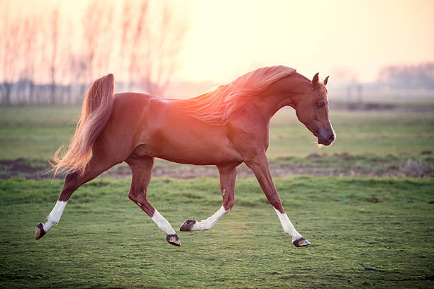 Best arabian horse stock photos pictures royalty free images istock - Arabian horse pics ...