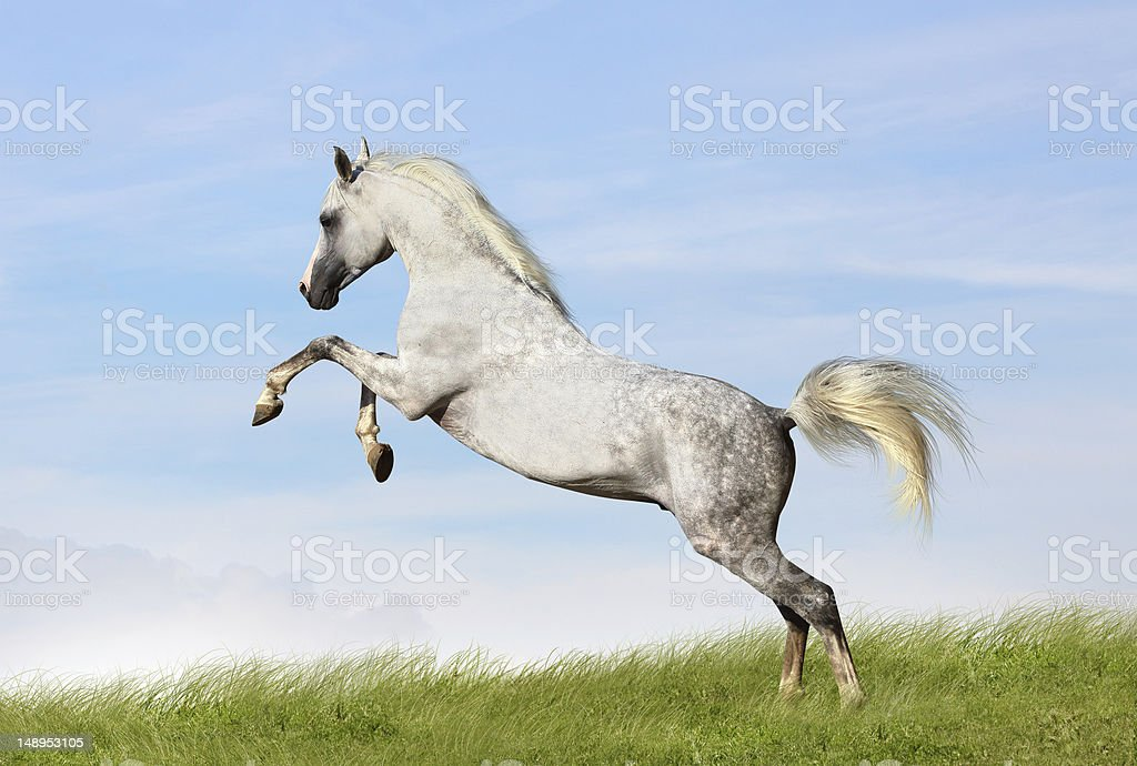 arabian stallion rears stock photo