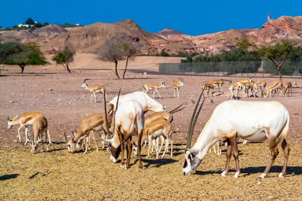 Arabian Wildlife Park, Sir Bani Yas Abu Dhabi – Foto