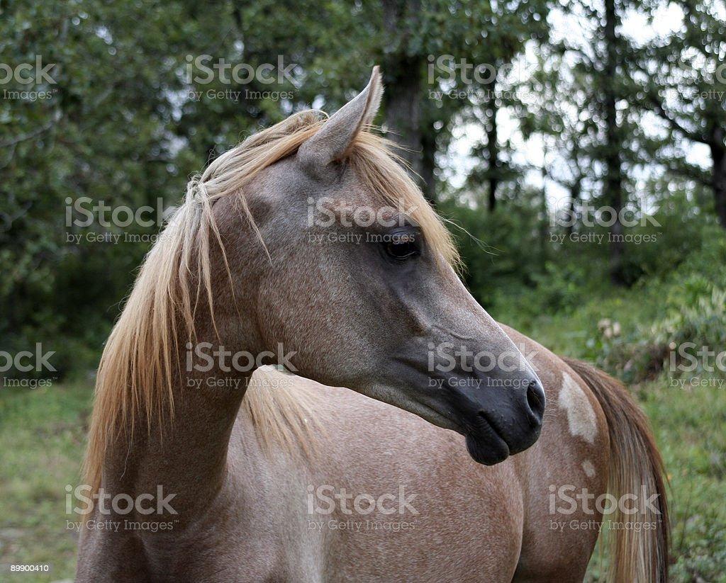 Arabian Yearling Colt royalty-free stock photo