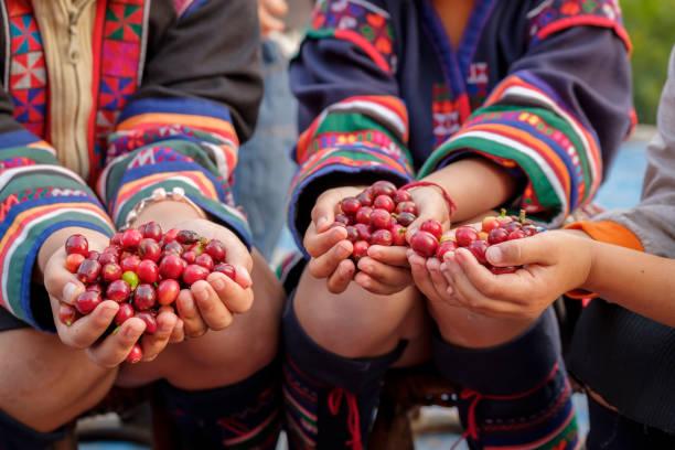ciliegie di fagioli da caffè arabica in mano ai bambini, stagione di raccolta nella piantagione di caffè biologico - coffee farmer foto e immagini stock