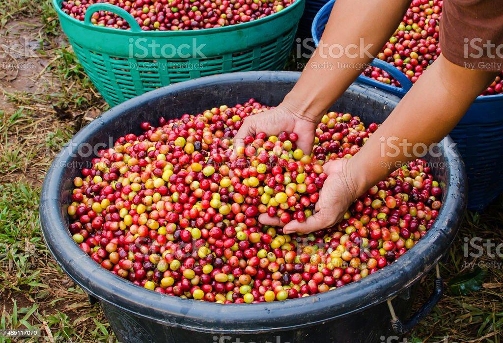 arabica coffee berries stock photo