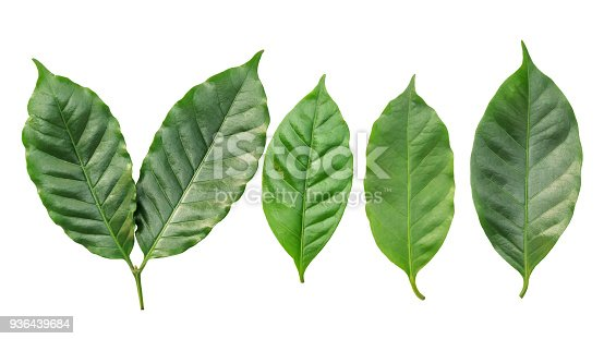 istock arabica coffee leaf on a white background. 936439684