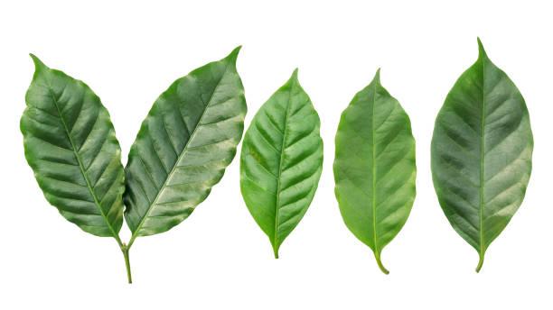 흰색 배경에 커피 잎 - coffee 뉴스 사진 이미지