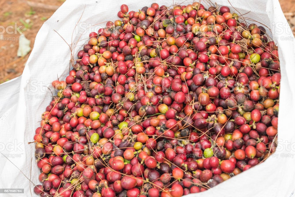 arabica coffee seeds on tree,Loei, Thailand. stock photo
