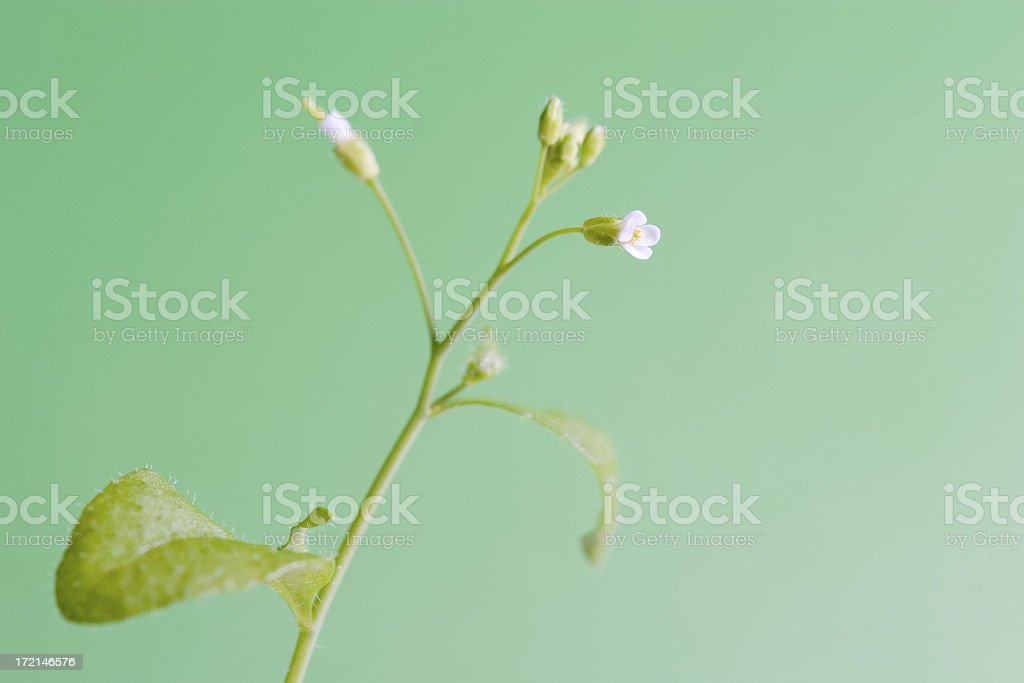 Arabidopsis plant royalty-free stock photo