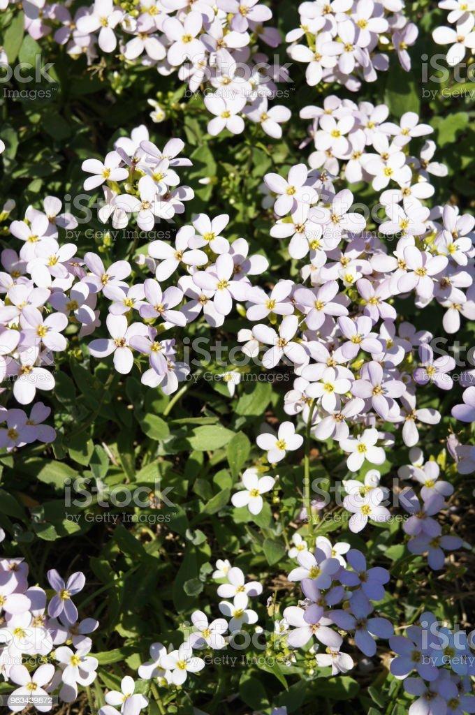 Arabis caucasica wiele różowych kwiatów z zielonym - Zbiór zdjęć royalty-free (Bez ludzi)
