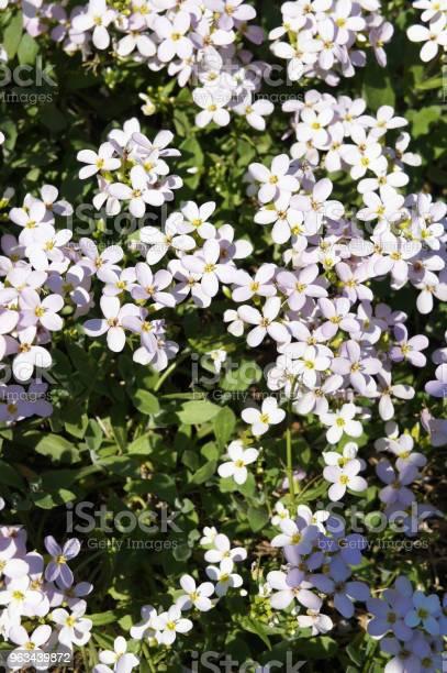 Arabis Caucasica Wiele Różowych Kwiatów Z Zielonym - zdjęcia stockowe i więcej obrazów Bez ludzi