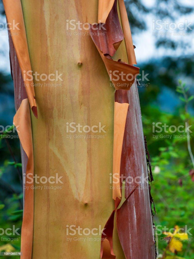 Arabutus Tree Trunk (Pacific Madrona) stock photo