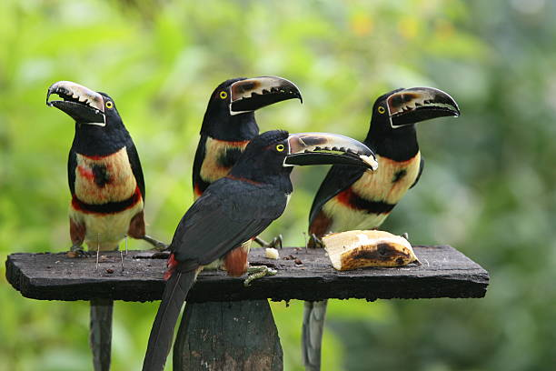 Aracari quartet in Costa Rica stock photo