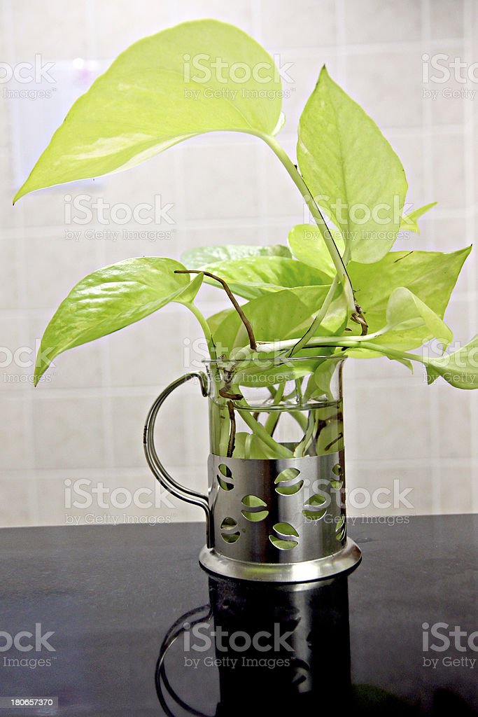 Araceae tree in the houseplant . royalty-free stock photo