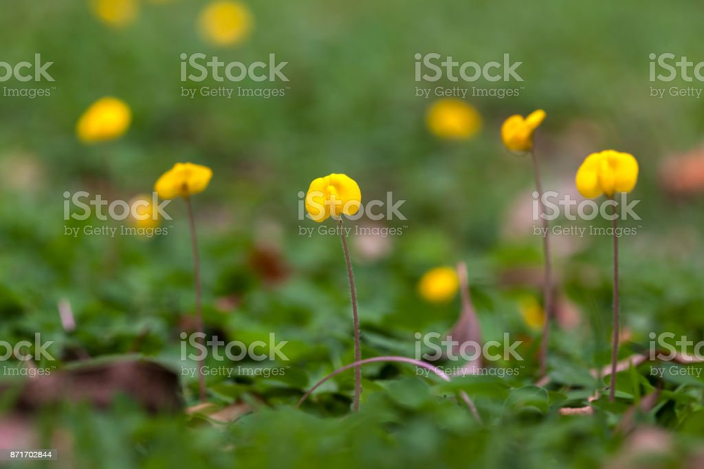 Arachis repens flower with blur background stock photo