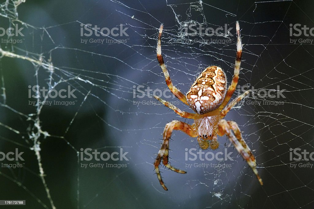Arachnid is sitting on a spider web royalty-free stock photo