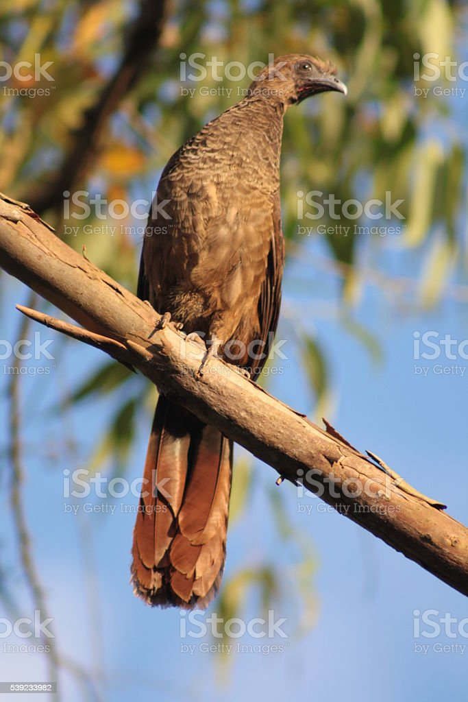Aracuã - Escaled Chachalaca royalty-free stock photo