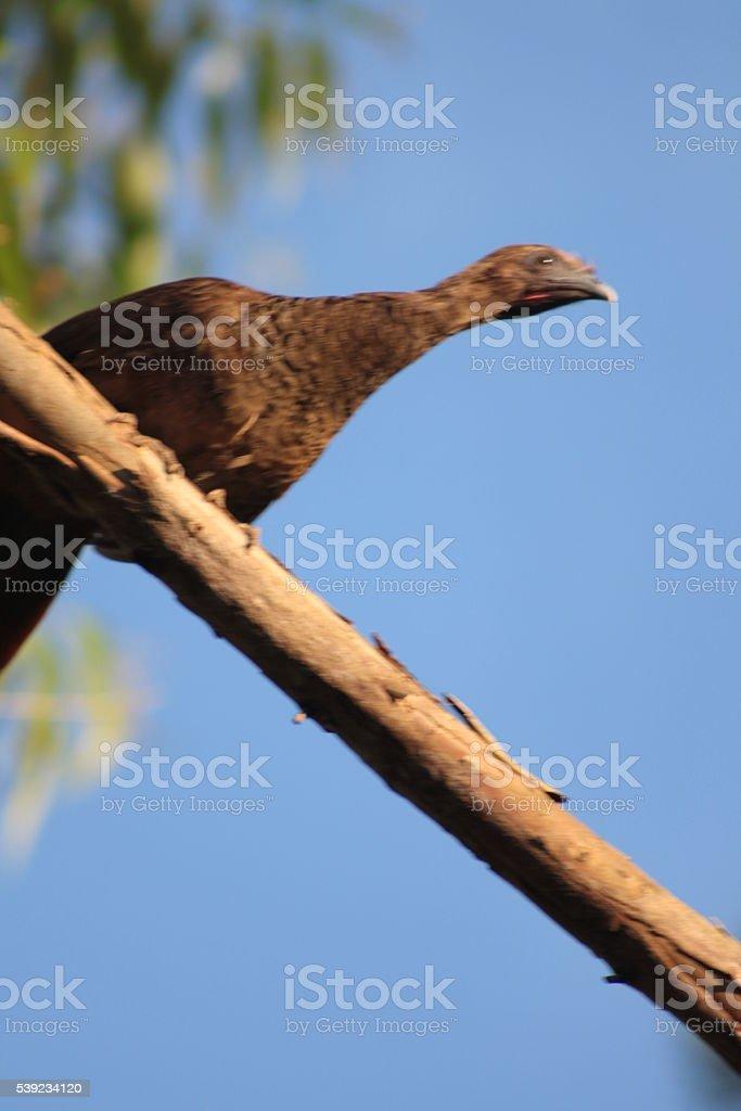 Aracuã-Escaled chachalaca foto de stock libre de derechos