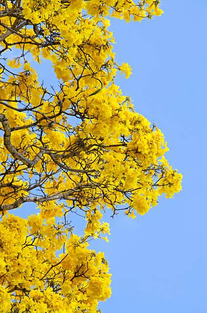 Araguaney Tree, Tabebuia chrysantha stock photo