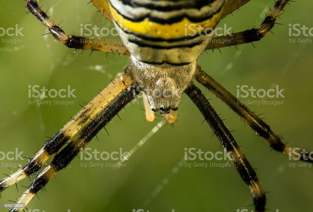 Araignée sur sa toile - Argiope stock photo