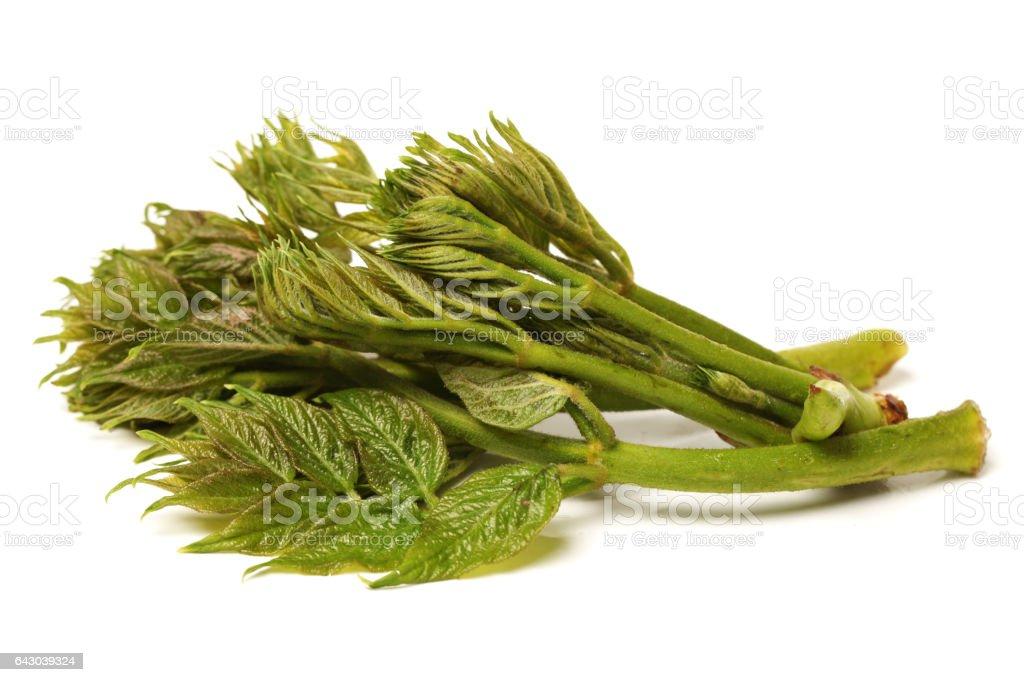 Aralia elata(Miq.) seem ,aralia sprout isolated on white background. With clipping path stock photo