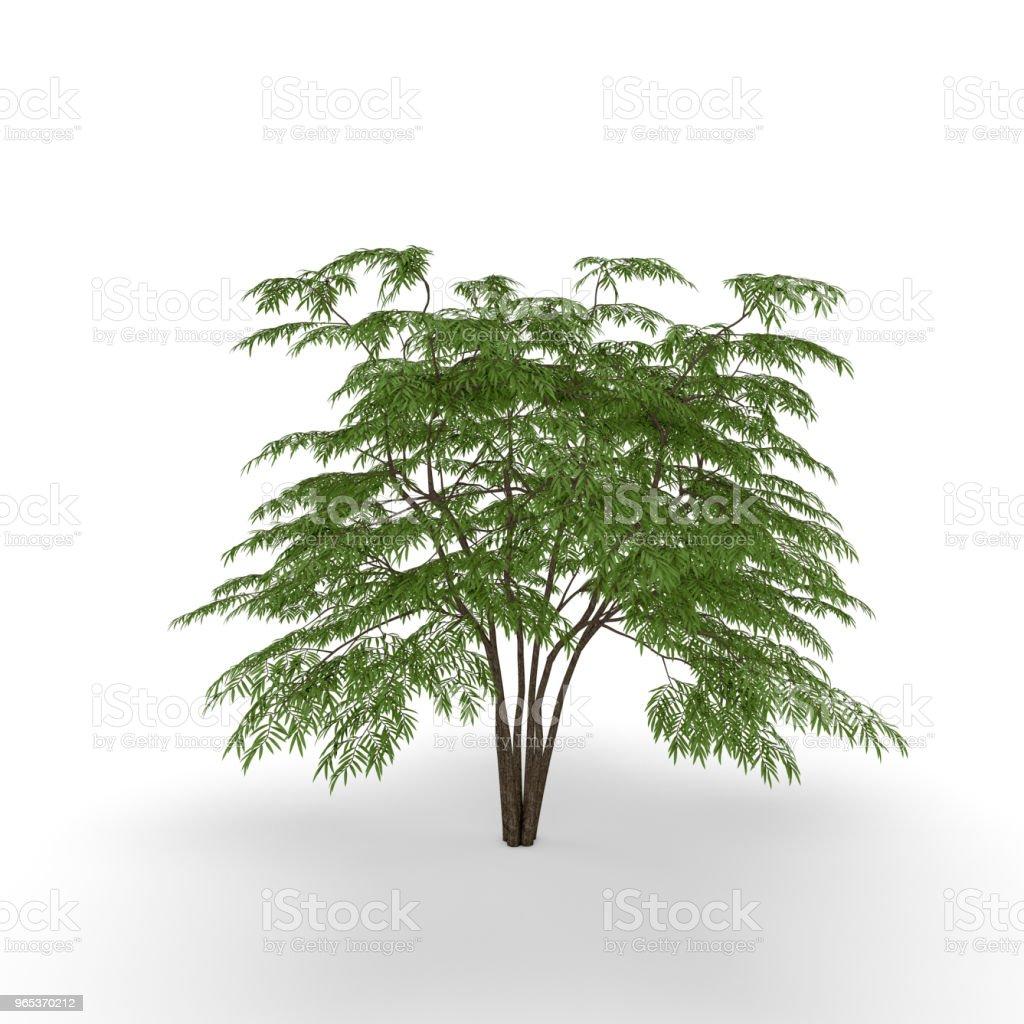 楤木樹。在白色背景下被隔離。3D 渲染插圖。 - 免版稅俄羅斯圖庫照片
