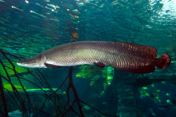 Arapaima (Sudis gigas), also known as the pirarucu. stock photo