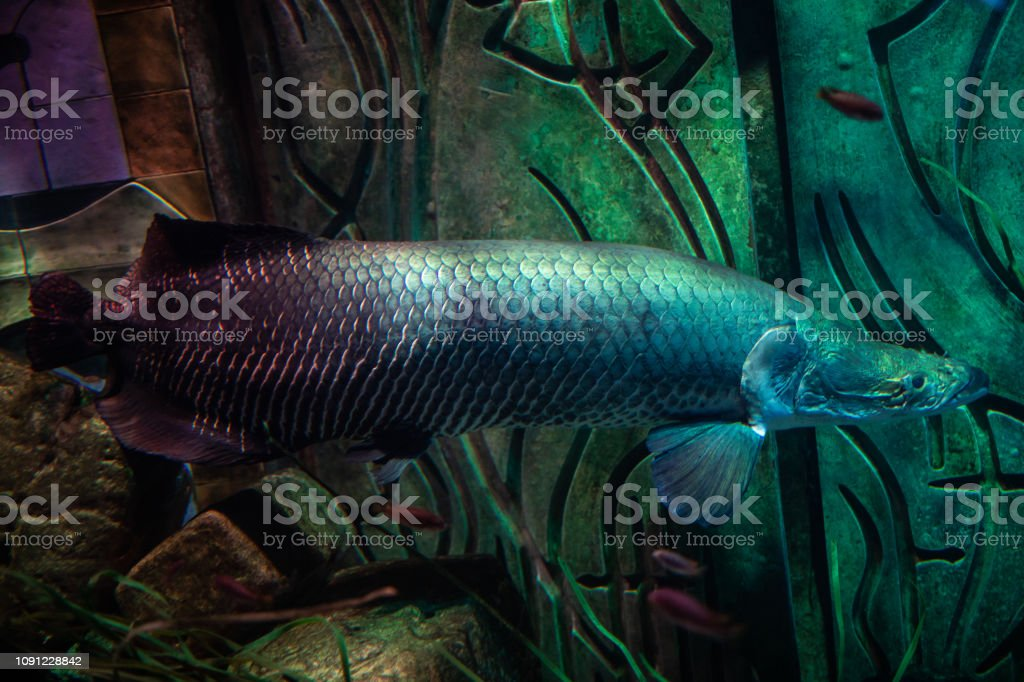 405900ef395 Arapaima Gigas Pirarucu One Of The Largest Fresh Water Fishes ...