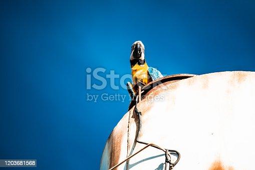 Casal de Araras em Lucas do Rio Verde, Mato Grosso, MT, Brasil. A Arara-canindé (Ara ararauna, Linnaeus, 1758), também conhecida como: arara-de-barriga-amarela, arari, arara-amarela, arara-azul-e-amarela, araraí ou canindé.