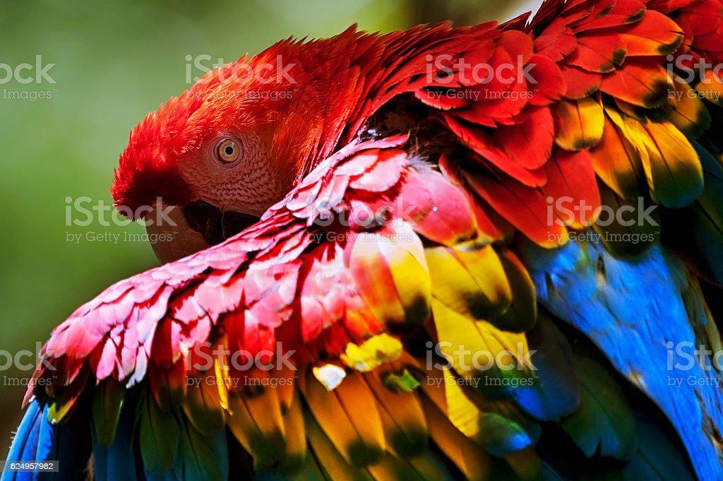 Arara-vermelha-grande | Red-and-green Macaw (Ara chloropterus) royalty-free stock photo