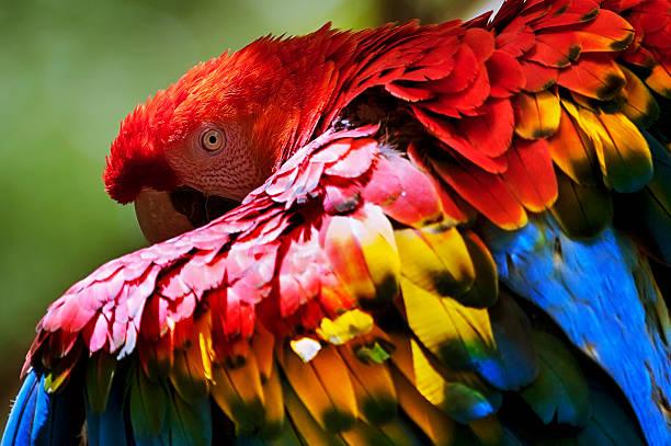 arara-vermelha-grande   red-and-green macaw (ara chloropterus) - biologisk mångfald bildbanksfoton och bilder