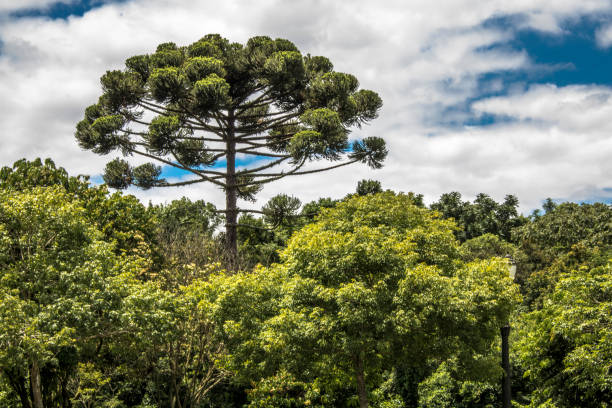Ararucaria tree in Curitiba city, on Parana state stock photo
