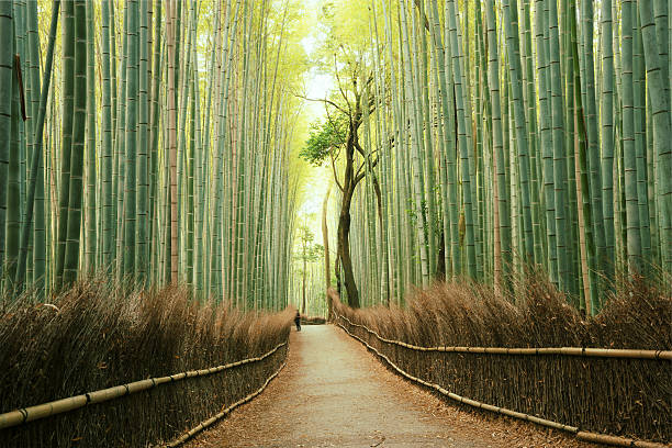 Arashiyama Bamboo Forest in Kyoto, Japan圖像檔