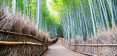 Bamboo forest near Kyoto, early in the morning