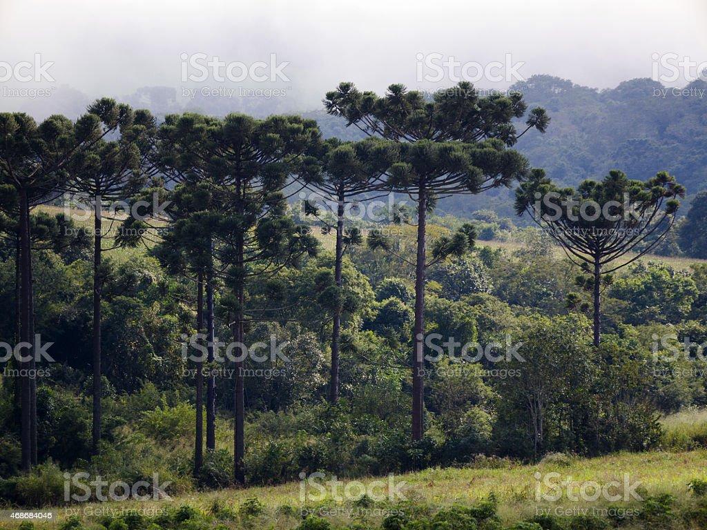 Araucaria 07 stock photo
