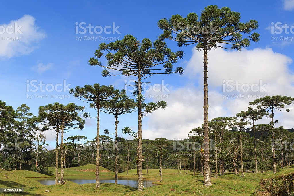 Araucaria angustifolia ( Brazilian pine),  Brazil stock photo