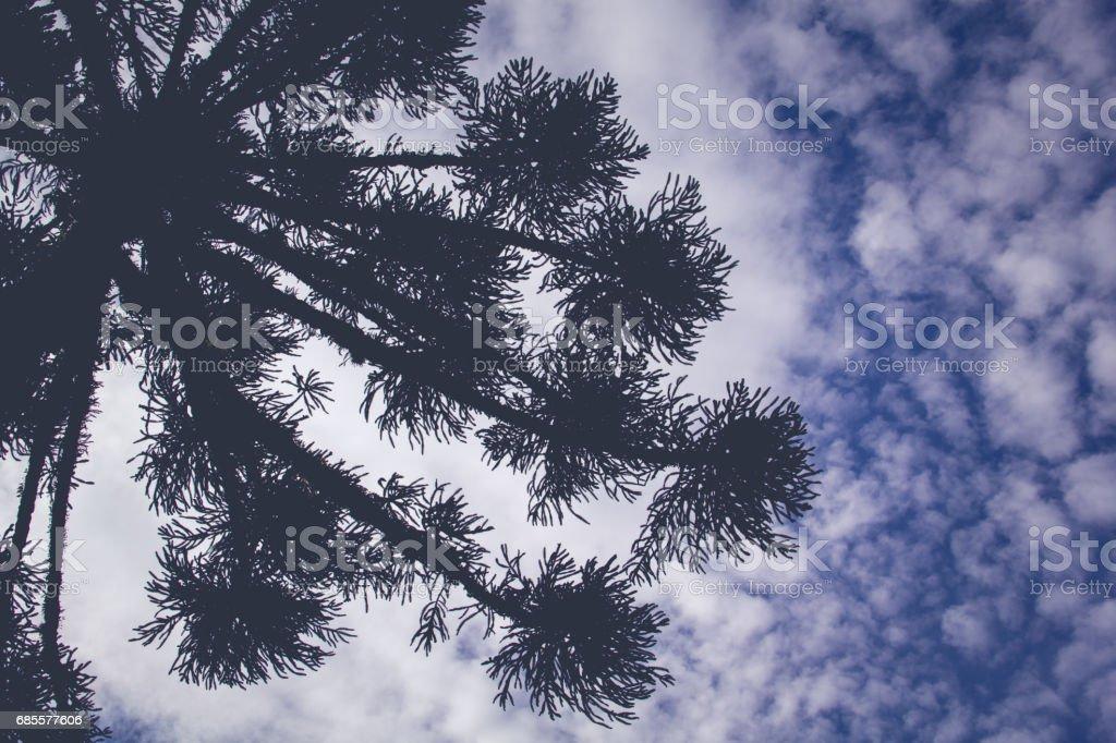 Araucaria angustifolia (Brazilian pine), Brazil foto de stock royalty-free