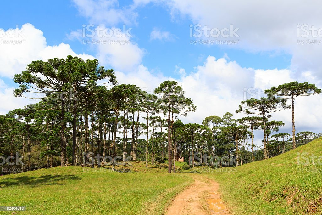Araucaria angustifolia ( Brazilian pine) forest, Brazil stock photo