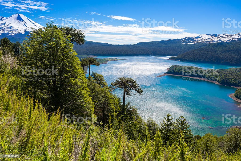Araucaria forest in Conguillio National Park, Chile stock photo