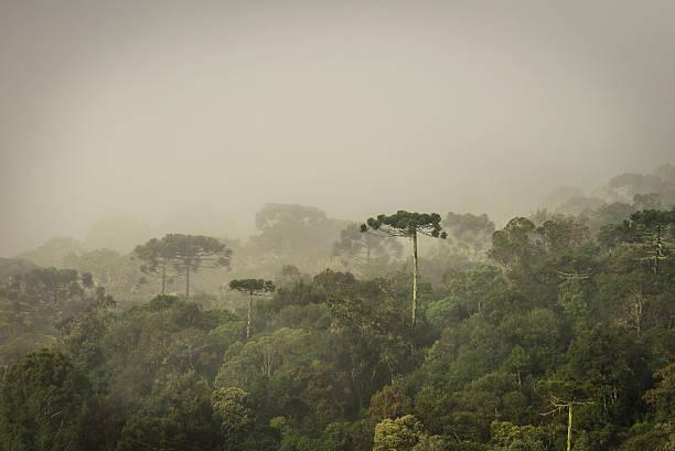 Araucária floresta - foto de acervo