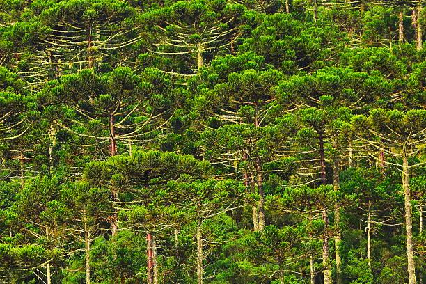Araucária Verde brasileiro pinheiros padrão, Paraná, Sul do Brasil - foto de acervo