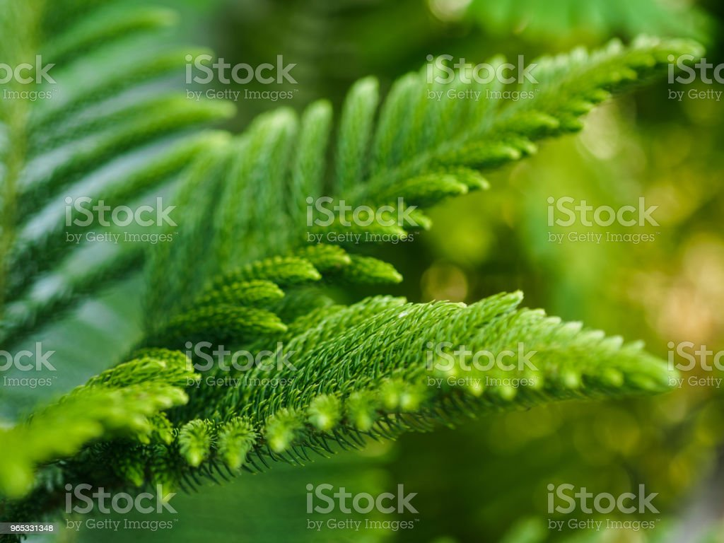 Araucaria heterophylla (norfolk island pine) royalty-free stock photo
