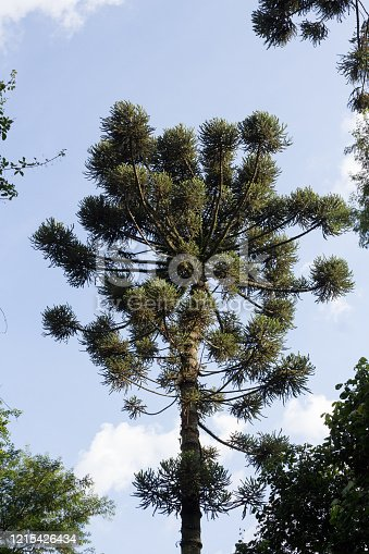 São Paulo, SP, Brazil - February 15, 2020: Araucaria standing out in mountain range, which has a diverse flora.