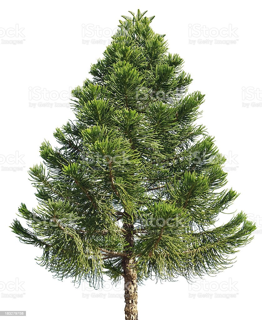 Araucaria pine tree isolated on white background stock photo