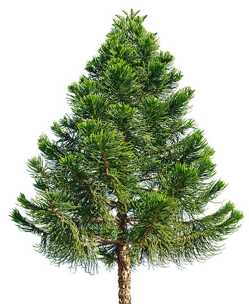 araucaria pine tree isolated on white background - pine tree stock photos and pictures