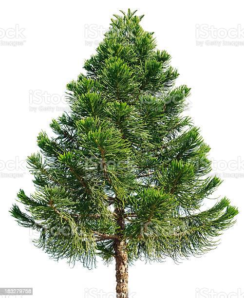 Photo of Araucaria pine tree isolated on white background