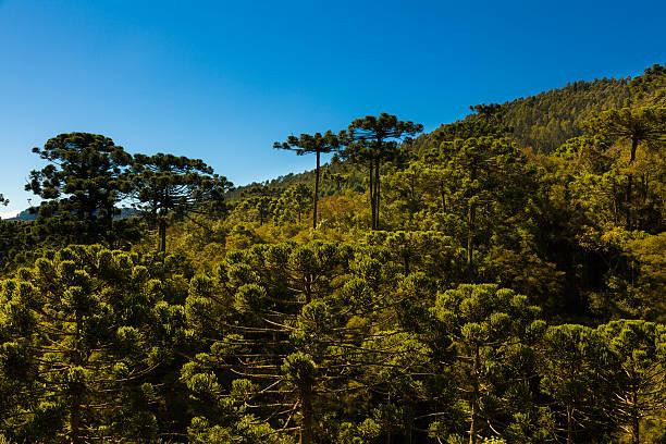 Araucaria tree forest stock photo
