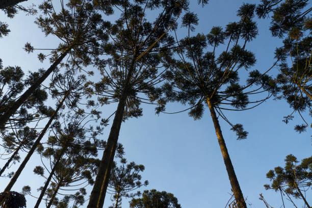 Araucaria tree (Araucaria angustifolia) stock photo
