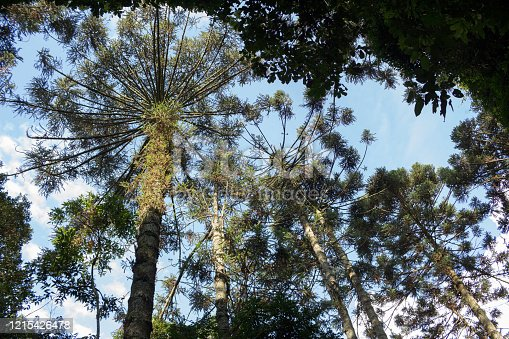 São Paulo, SP, Brazil - February 15, 2020: Araucaria standing out in mountain range.