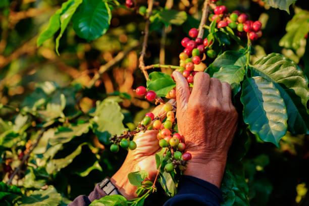 arbarica coffee bean cherries on tree in organic plantation - coffee farmer foto e immagini stock